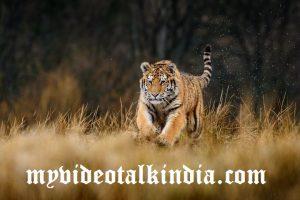 Viral Video Harimau Mengejar Pengendara Motor Di India